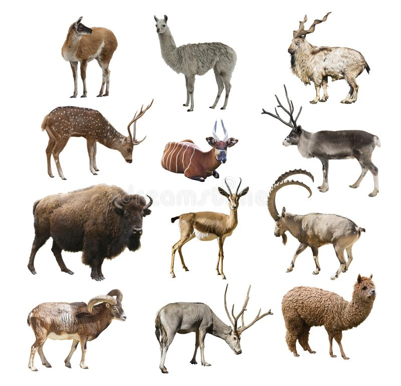 Animais ruminantes do artiodactyl dos mamíferos no fundo branco isolado fotografia de stock