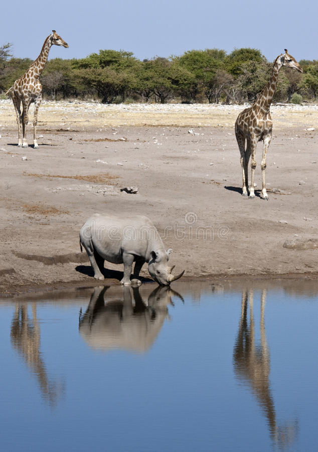 Animais selvagens africanos imagens de stock royalty free