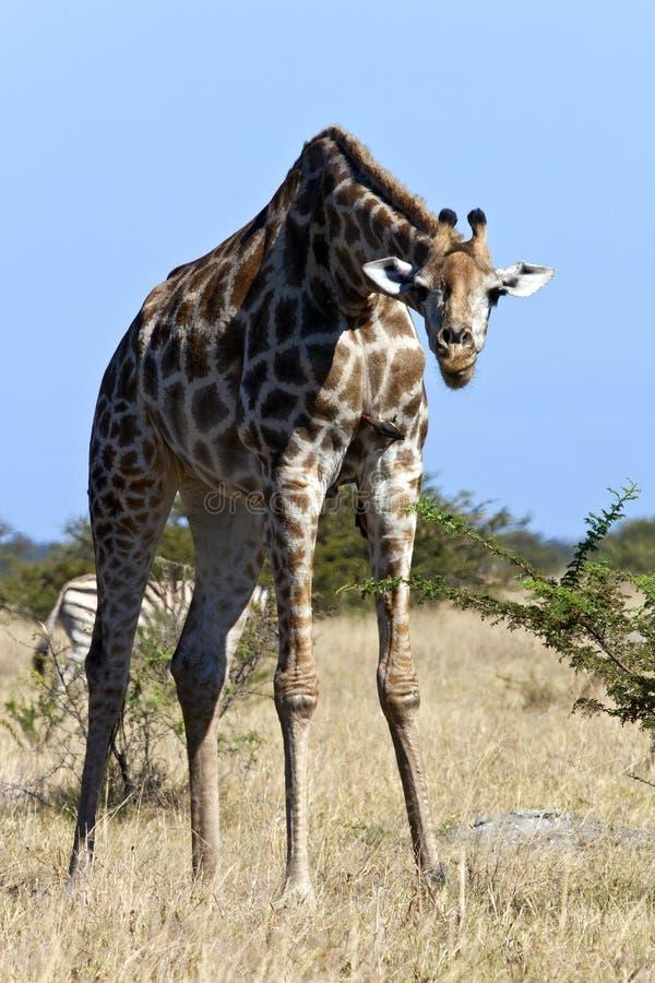 Animais selvagens africanos - Giraffe - Botswana imagens de stock royalty free