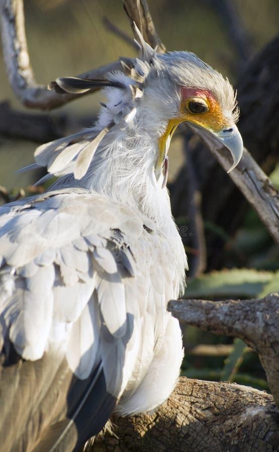 Animais selvagens animais emplumados Bird Looks Back do secretário pássaro imagem de stock royalty free