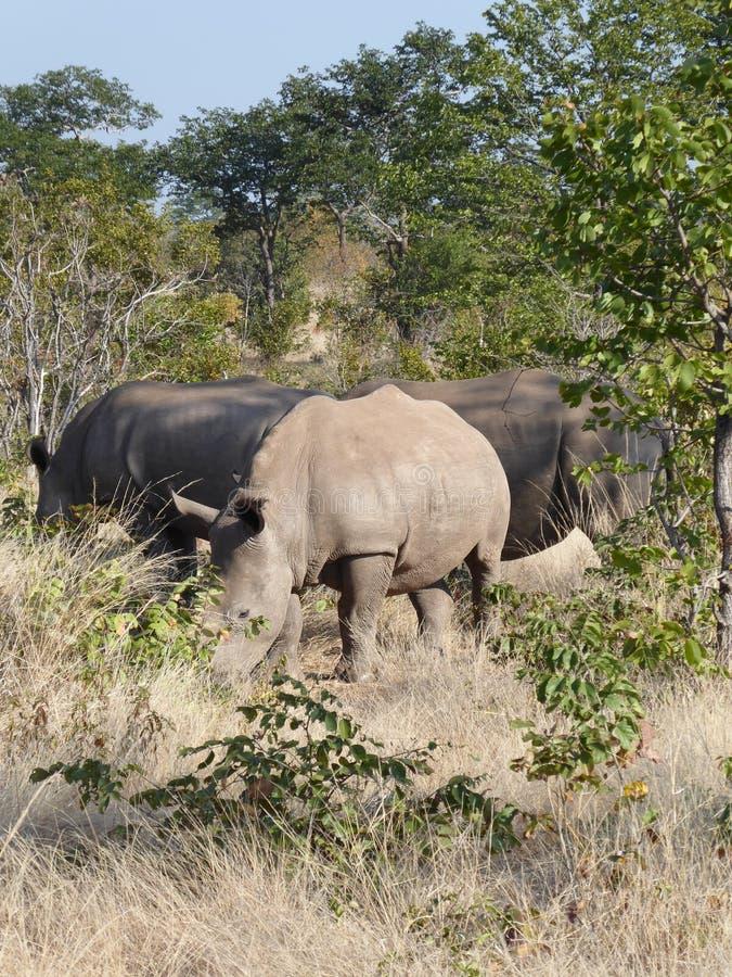 Animais selvagens brancos da natureza de África do safari da Zâmbia da família do rinoceronte imagem de stock