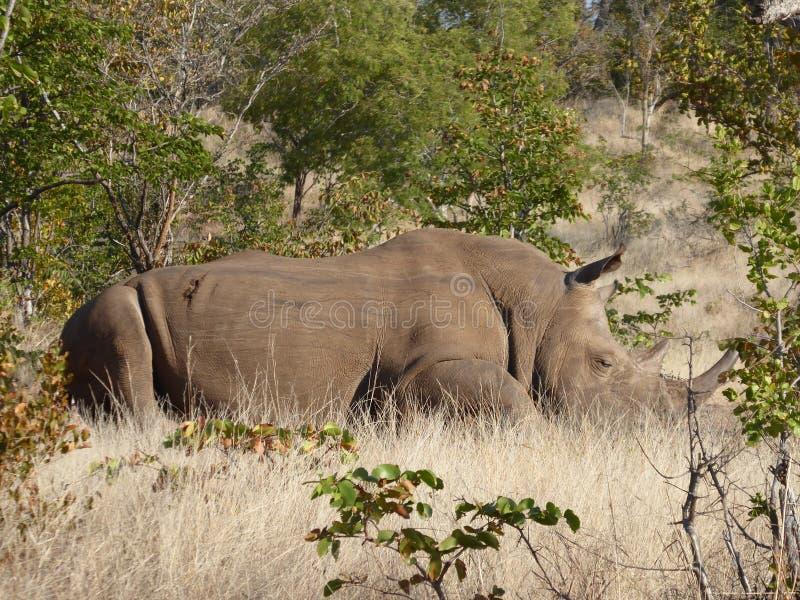 Animais selvagens brancos da natureza de África do safari da Zâmbia do rinoceronte imagem de stock