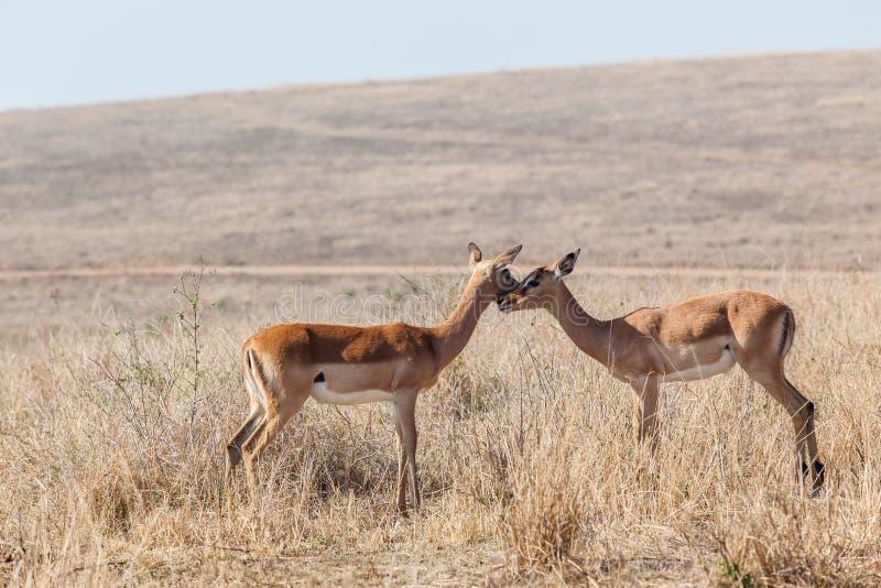 Animais selvagens Buck Affections Inter-Action fotografia de stock