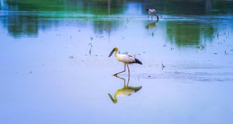 Animais selvagens da natureza, pássaros locais que andam em torno do campo colhido do arroz e que olham para o alimento, insetos  imagens de stock royalty free