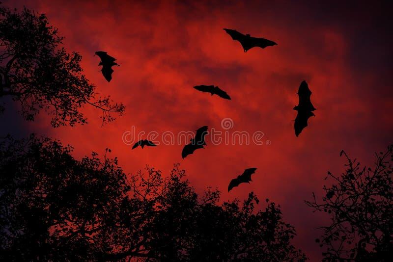 Animais selvagens da noite com bastões Megabat indiano gigante, giganteus do Pteropus, no céu vermelho da obscuridade do por do s fotografia de stock royalty free