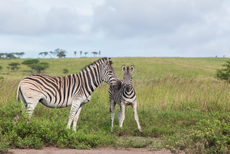 Animais selvagens das afeições da vitela da zebra fotografia de stock royalty free