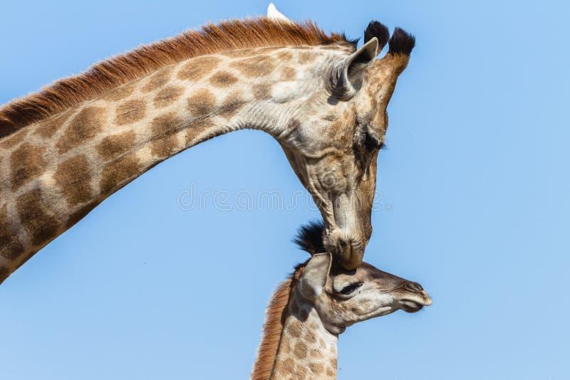 Animais selvagens das afeições do toque da vitela do girafa imagens de stock