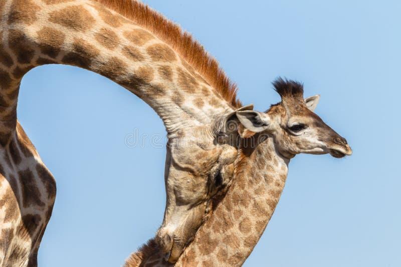Animais selvagens das afeições do toque da vitela do girafa imagens de stock royalty free