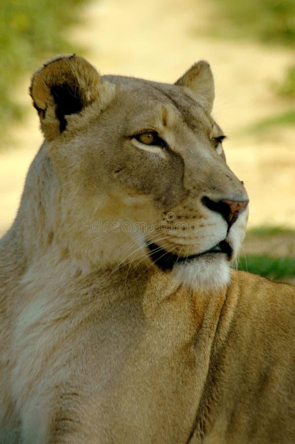 Animais selvagens de Africas foto de stock