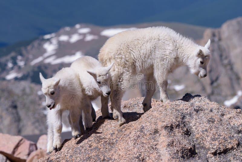 Animais selvagens de Colorado Cabras de montanha em picos de montanha de Colorado foto de stock royalty free