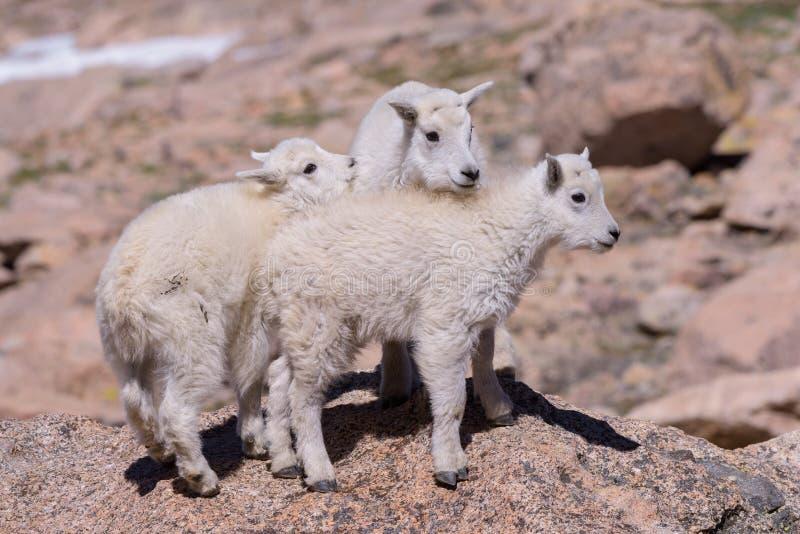 Animais selvagens de Colorado Cabras de montanha em picos de montanha de Colorado imagens de stock
