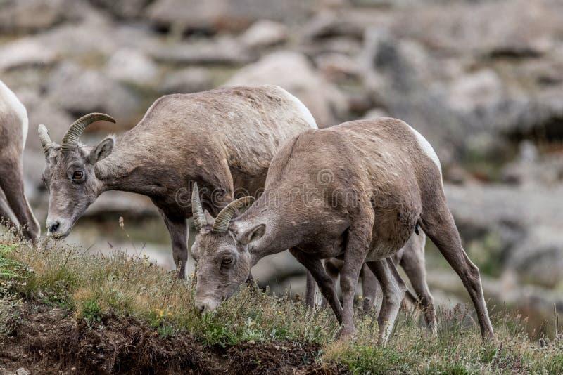 Animais selvagens de Colorado da montanha rochosa de cabras de montanha fotografia de stock royalty free