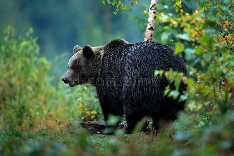 Animais selvagens de Europa Árvores do outono com urso Urso de Brown que alimenta antes do inverno Montanha Mala Fatra de Eslováq imagens de stock