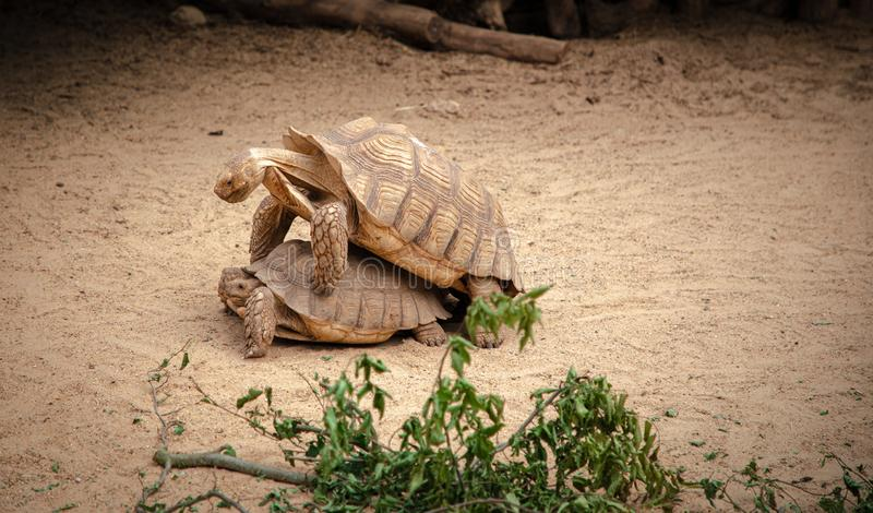 Animais selvagens animais de ?frica da esta??o de acoplamento das tartarugas fotos de stock