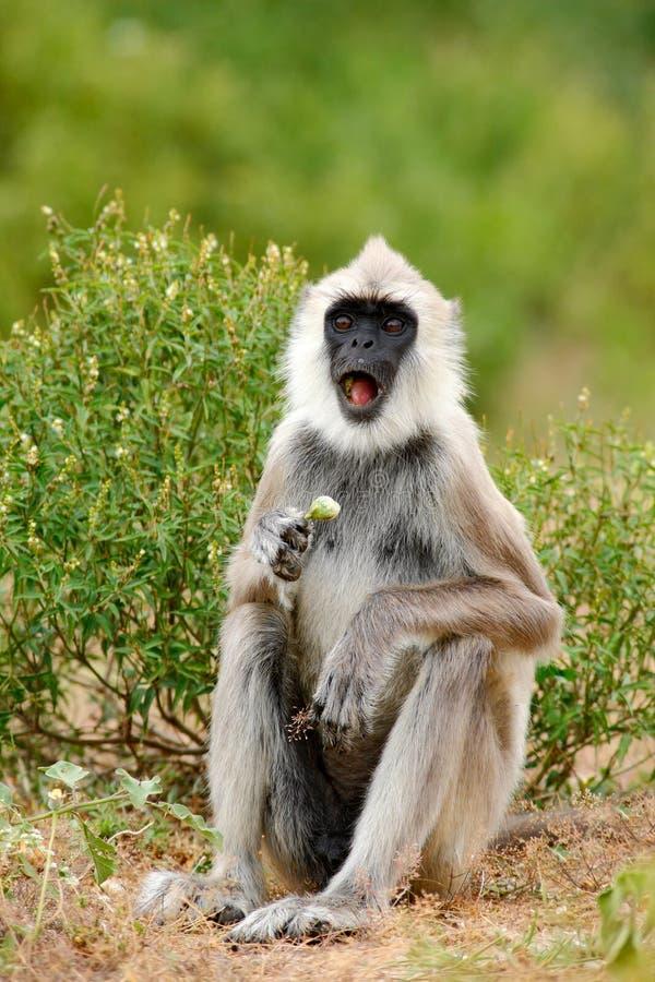 Animais selvagens de Sri Lanka Animal com focinho aberto Langur comum, entellus de Semnopithecus, macaco com fruto na boca, habi  foto de stock royalty free