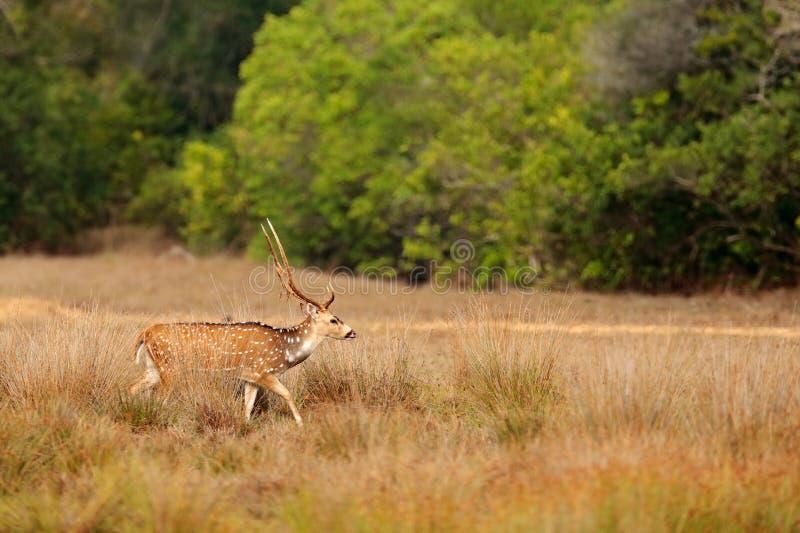 Animais selvagens de Sri Lanka O ceylonensis cingalês da linha central dos cervos da linha central, ou Ceilão mancharam cervos, h fotos de stock