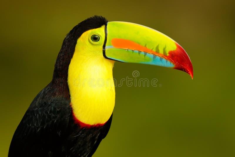 Animais selvagens do ? n de Yucat?, M?xico, p?ssaro tropical Tucano que senta-se no ramo na floresta, vegeta??o verde Feriado do  imagens de stock royalty free