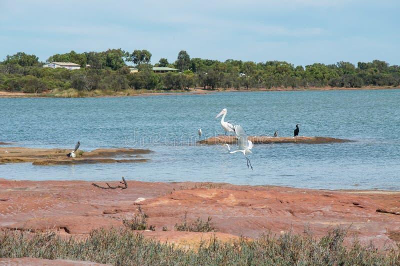 Animais selvagens do rio de Murchison fotos de stock royalty free