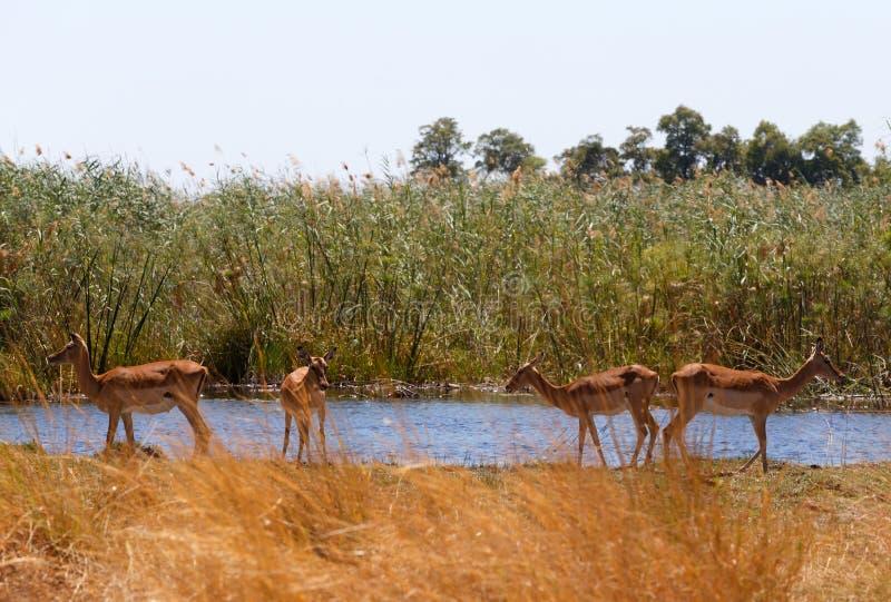 Animais selvagens e região selvagem do safari de África do antílope da impala imagens de stock royalty free