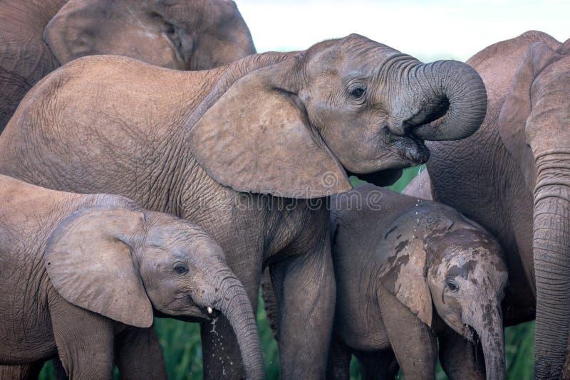 Animais selvagens em África do Sul foto de stock