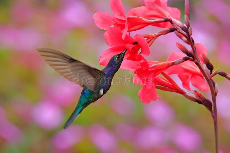 Animais selvagens em Costa Rica Voo azul grande de Violet Sabrewing do colibri ao lado da flor vermelha bonita com a floresta ala imagens de stock royalty free