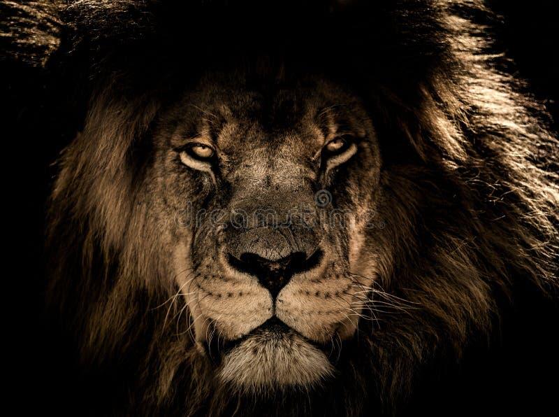 Animais selvagens, leão, preto, cara