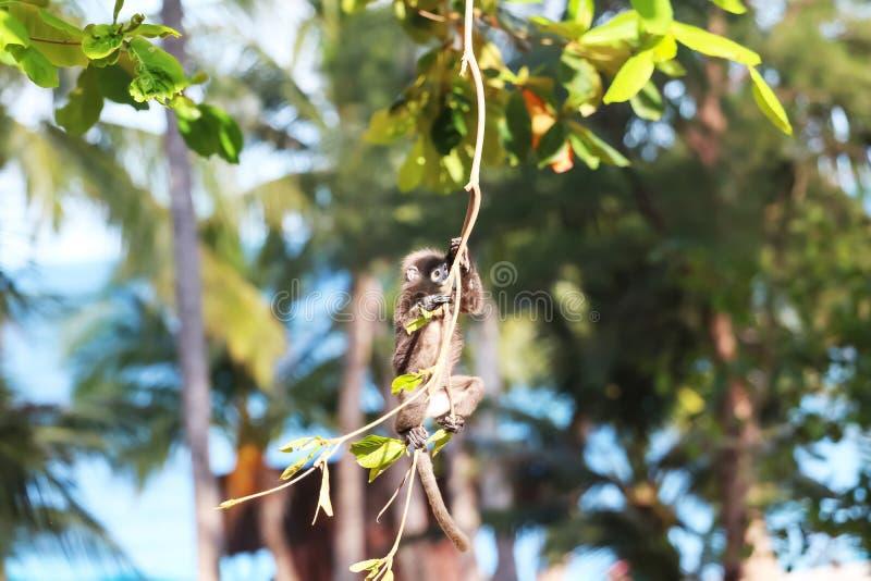 Animais selvagens, macaco da folha ou salto e balanço obscuros do langur na árvore quando os turistas olharem imagem de stock