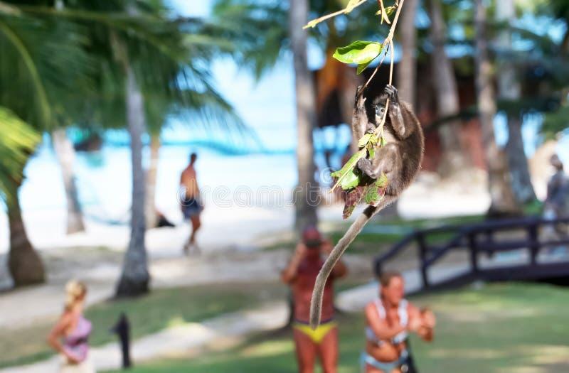 Animais selvagens, macaco da folha ou salto e balanço obscuros do langur na árvore quando os turistas olharem imagens de stock
