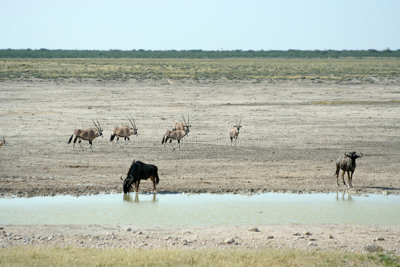 Animais selvagens no waterhole fotografia de stock royalty free