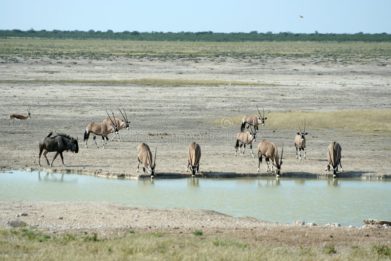 Animais selvagens no waterhole foto de stock