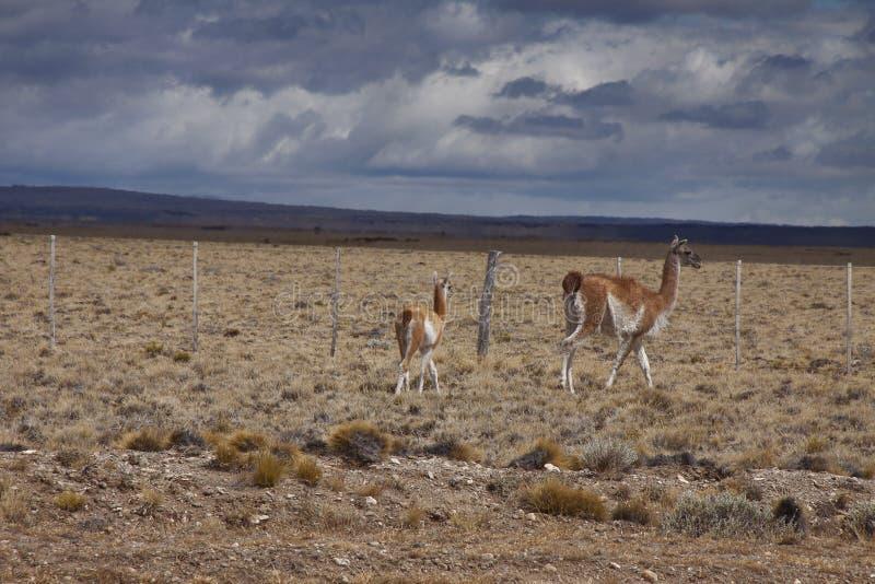 Animais selvagens patagonian foto de stock royalty free