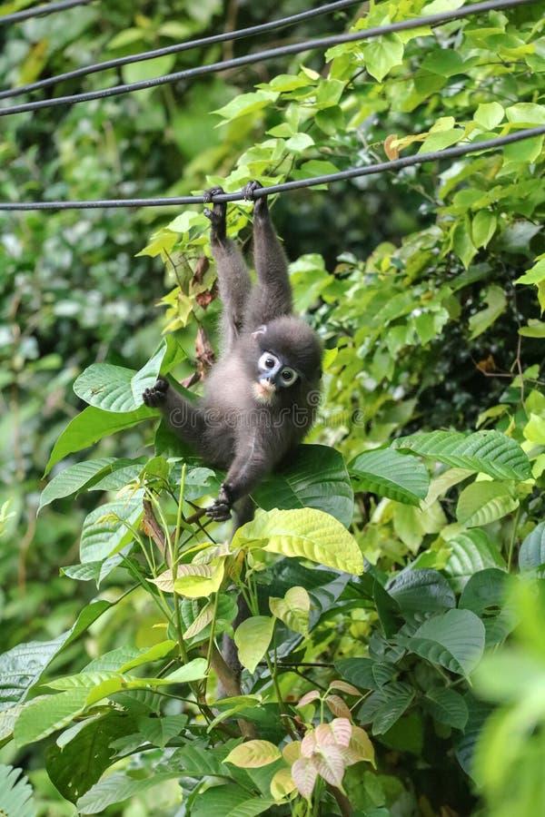 Animais selvagens pequenos, macaco da folha ou balanço obscuro do langur nos cabos e para alcançar a mão fotografia de stock