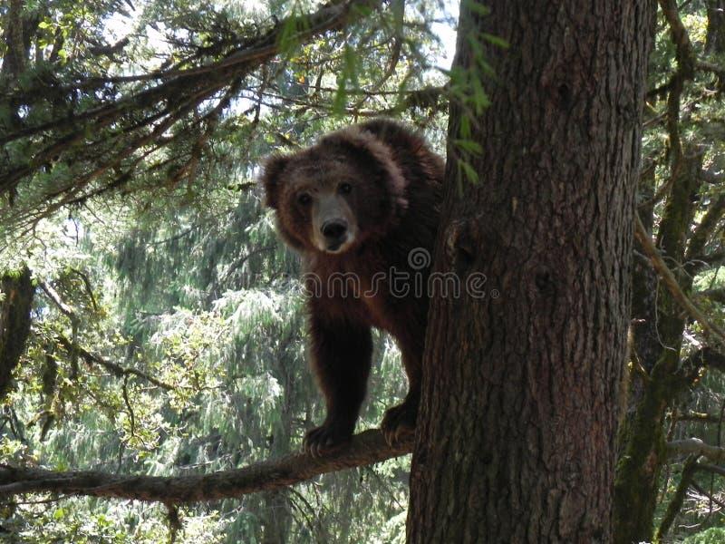 Animais selvagens - urso de Brown foto de stock royalty free