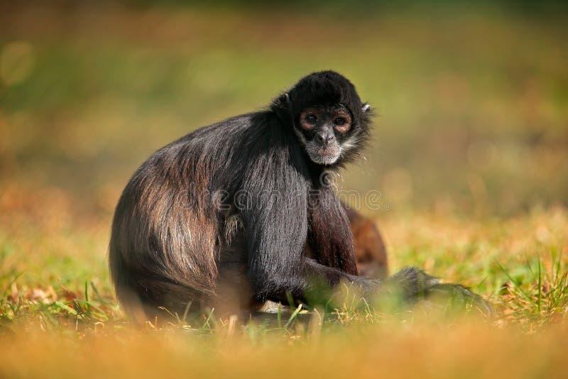 Animais selvagens verdes de Costa Rica macaco de aranha Preto-entregue que senta-se no ramo de árvore no animal tropico escuro da imagem de stock royalty free