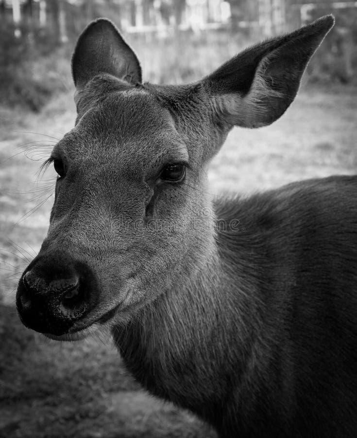Animais tristes dos cervos fotos de stock royalty free