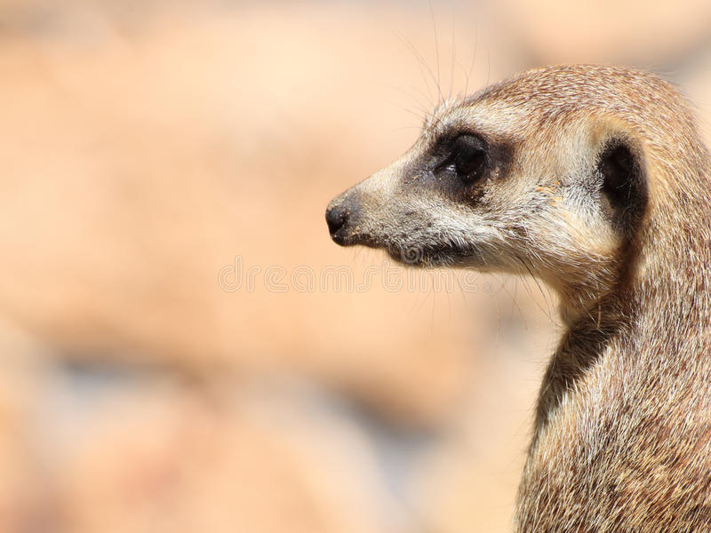 Download Animal Alert Meerkat (Suricata Suricatta) Stock Images - Image: 25710514
