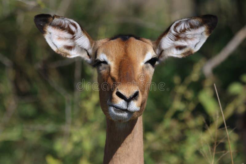 Animal, Antelope, Barbaric stock photo