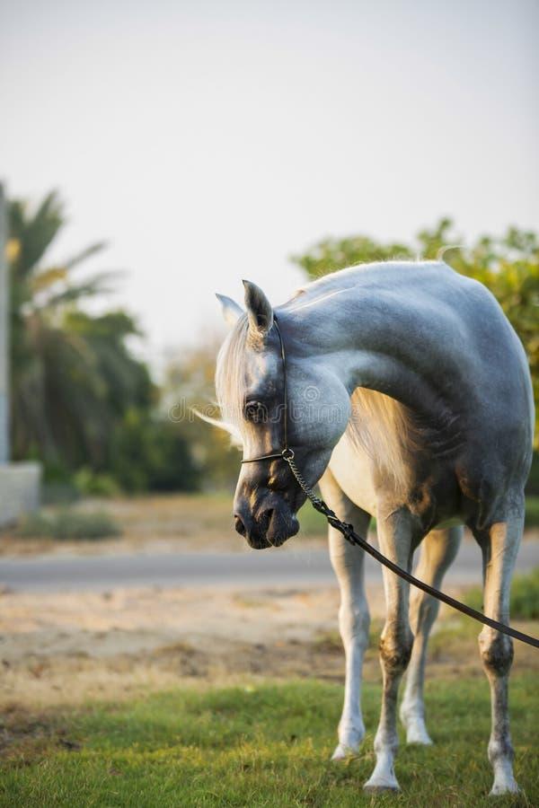 Arabian White horse in the garden stock images