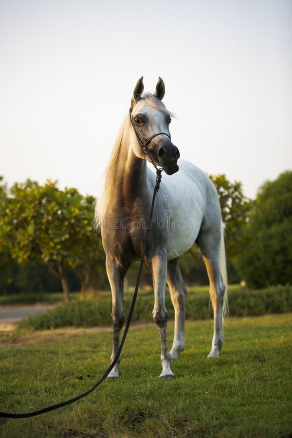 Dubai Arabian White horse stock photos