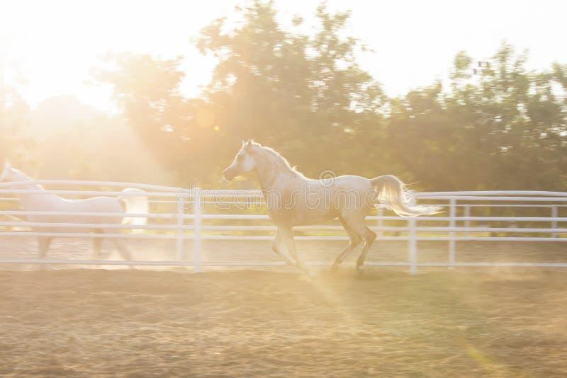 Lovely Arabian White horse, dubai royalty free stock images