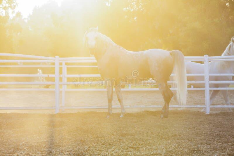 Lovely Arabian White horse, dubai stock photo