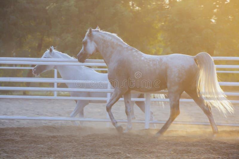 Lovely Arabian White horse, dubai stock images