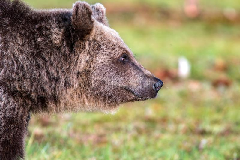 Closeup of the face of a brown bear looking towards right royalty free stock image