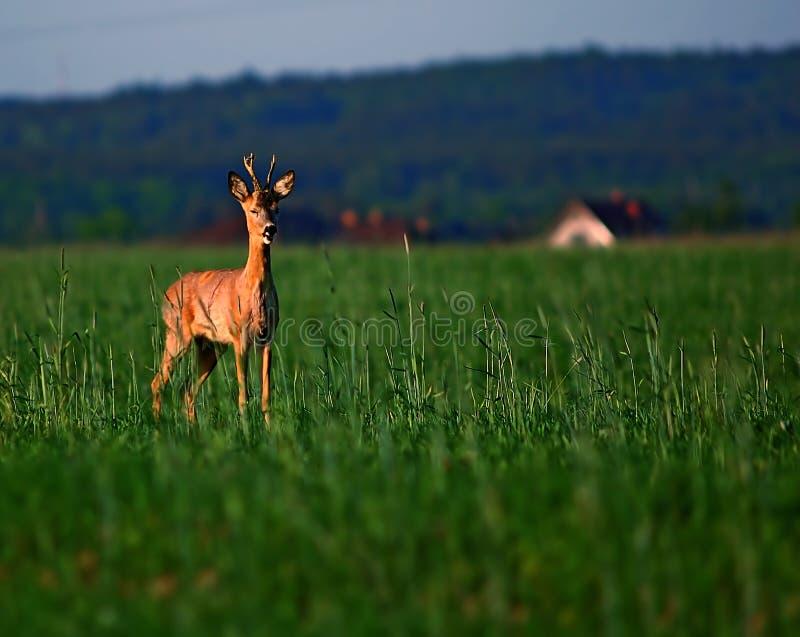 Animal background. Roe-deer royalty free stock photo