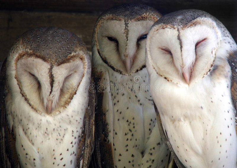 Animal - barn owl. Three cute barn owls stock images