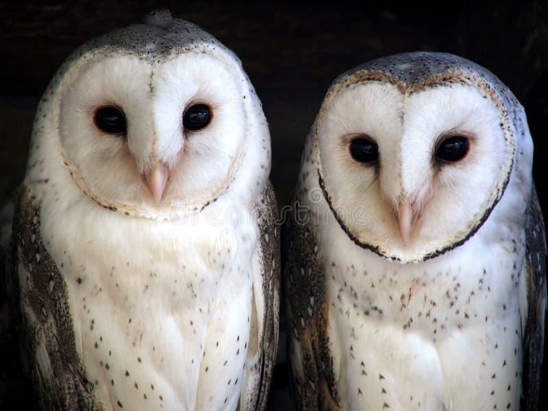 Animal - barn owl stock image