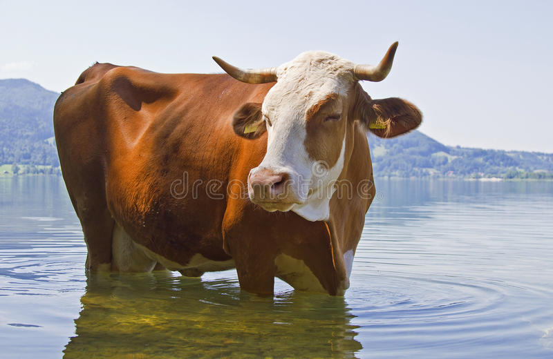 Download Animal bathing stock photo. Image of water, bavaria, cattle - 26047172