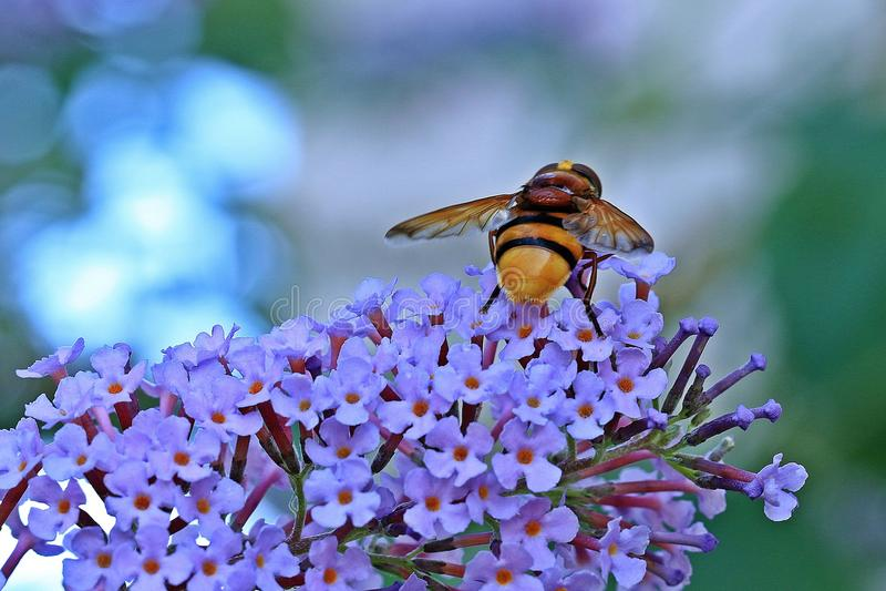 Animal, Bee, Bloom royalty free stock image