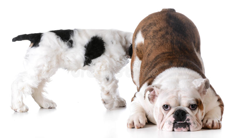 Animal behaviour. One dog sniffing another dogs backside royalty free stock photos