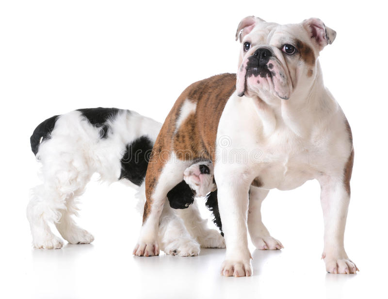 Animal behaviour. One dog sniffing another dogs backside royalty free stock images